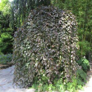 Fagus sylvatica purpurea Pendula - 45ltr (180/200)