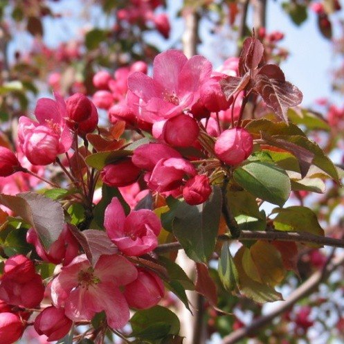 Malus Red Top 500