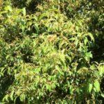 Castanopsis Cuspidata 500
