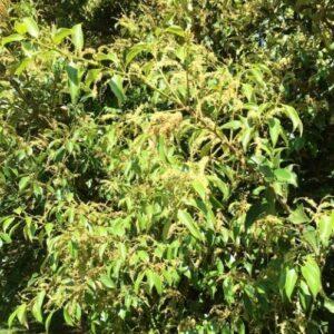 Castanopsis cuspidata - pb6.5 (60/80)