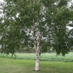 Betula platyphylla Japonica - pb6.5 (120/180)