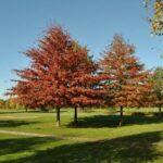 Quercus Palustris M Ch