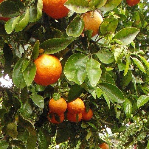 Grapefruit Cutlers Red - pb18