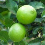 Lime Kusaie 500