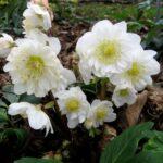 Helleborus n. Snow Frills - 2.4ltr (15/20)