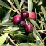Olive El Greco 500